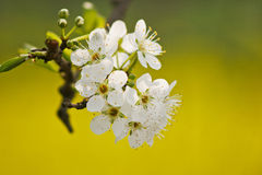 Blooming pear Stock Photography