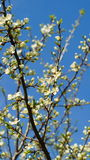Blooming pear tree against the background of blue sky Stock Image