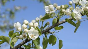 Blooming pear tree branch with on blue sky background stock video
