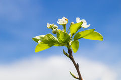 Blooming Pear Tree Branch Stock Photos