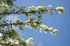Blooming pear tree. Branches of blooming pear tree in blue sky background Stock Image