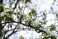 Blooming pear tree branches in a spring garden, white flowers and young green foliage, background, backdrop stock photography