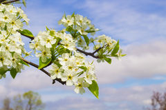 Blooming Pear Tree Flowers Royalty Free Stock Image