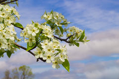 Blooming Pear Tree Flowers Stock Photography