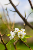 Blooming Pear Tree Flowers on Branch Royalty Free Stock Images