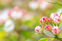 Blooming pear tree with flowers on branches. Closeup, blurry background stock photography