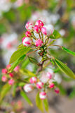 Blooming pear tree with flowers on branches. Closeup, blurry background royalty free stock photos