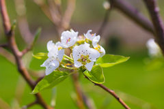Blooming Pear Tree Flowers Stock Image