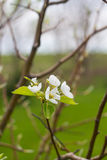 Blooming Pear Tree Flowers Royalty Free Stock Photography