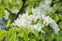 Blooming pear-tree in garden. Stock Photo