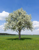 Blooming pear tree Stock Photo