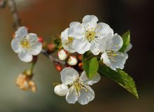 Blossoming pear tree in spring Stock Image