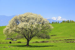 Blooming Pear Tree Stock Photos