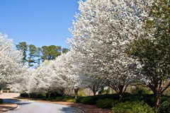Blooming Pear Trees on Curve in Road Royalty Free Stock Image