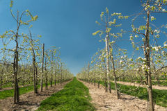 Blooming pear trees Stock Photo