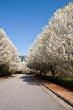 Blooming Pear Trees Beside Rural Road Stock Photo