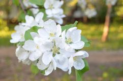 Blooming pear stock photos