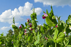 Blooming peas Royalty Free Stock Images
