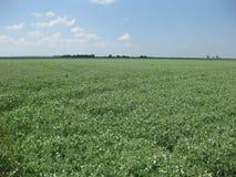 Blooming peas in the field. Flowering of legumes. Flowers of peas.  Royalty Free Stock Photo