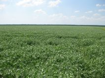 Blooming peas in the field. Flowering of legumes. Flowers of peas.  Royalty Free Stock Photos