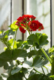 Blooming Pelargonium hortorum Stock Image