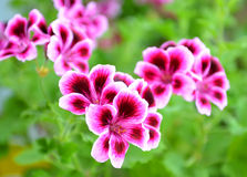 Blooming pelargonium stock image