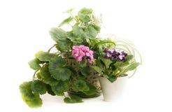 Blooming Pelargonium  and violet Stock Image