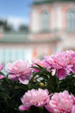 Blooming peonies on background unfocused Palace Royalty Free Stock Image
