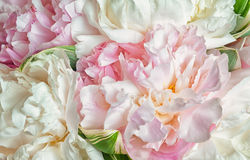 Blooming peonies Stock Photo