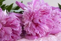 Blooming peonies Stock Photos