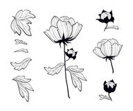 Paeonia. Blooming peony set of black contour drawings. Peony`s p. Blooming peonies set of black contour drawings peony`s parts with leaves and buds Royalty Free Stock Photography