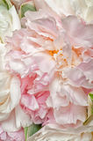 Blooming peonies vertical Royalty Free Stock Photography