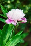 Blooming peony Stock Photos