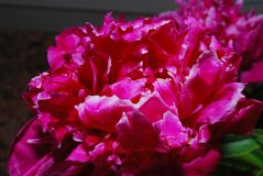 Blooming peony Royalty Free Stock Photos