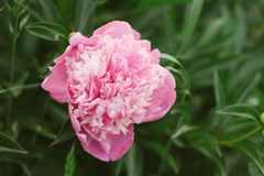 Blooming peony on a background of green leaves. Soft focus, film effect royalty free stock photo
