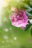 Blooming peony Stock Image