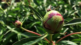 Blooming peony bud on a sunny day. Blooming peony bud on a sunny day stock video footage
