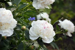 Blooming peony bush Royalty Free Stock Image