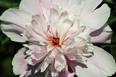 Blooming peony closeup in summer garden royalty free stock photos