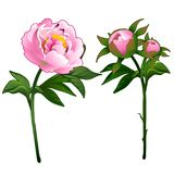 Blooming peony and non-blooming pink rose.. Vector Illustration flower in cartoon style isolated on white background Royalty Free Stock Image