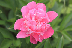 Blooming Peony Stock Photography