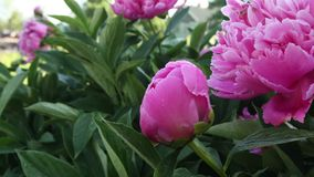 Blooming peony pink flower stock video footage