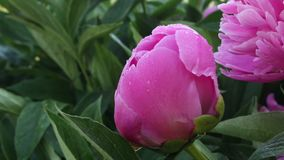 Blooming peony pink flower stock footage