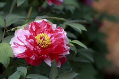 A blooming peony. The rare red and white petals Royalty Free Stock Photography