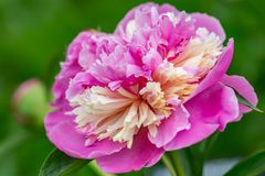 Blooming peony with soft light. Pink peony with soft focus in a spring garden. royalty free stock photos