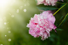 Blooming peony Stock Photo