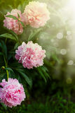 Blooming peony Royalty Free Stock Photo
