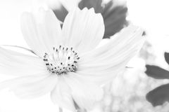 Blooming petal flower on black-white tone background. Like drawing art for home screen, gallery or art frame Royalty Free Stock Photos