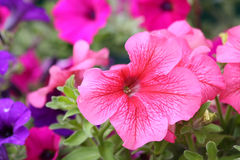 Blooming petunia Royalty Free Stock Images