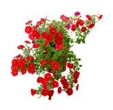 Blooming petunia Royalty Free Stock Image
